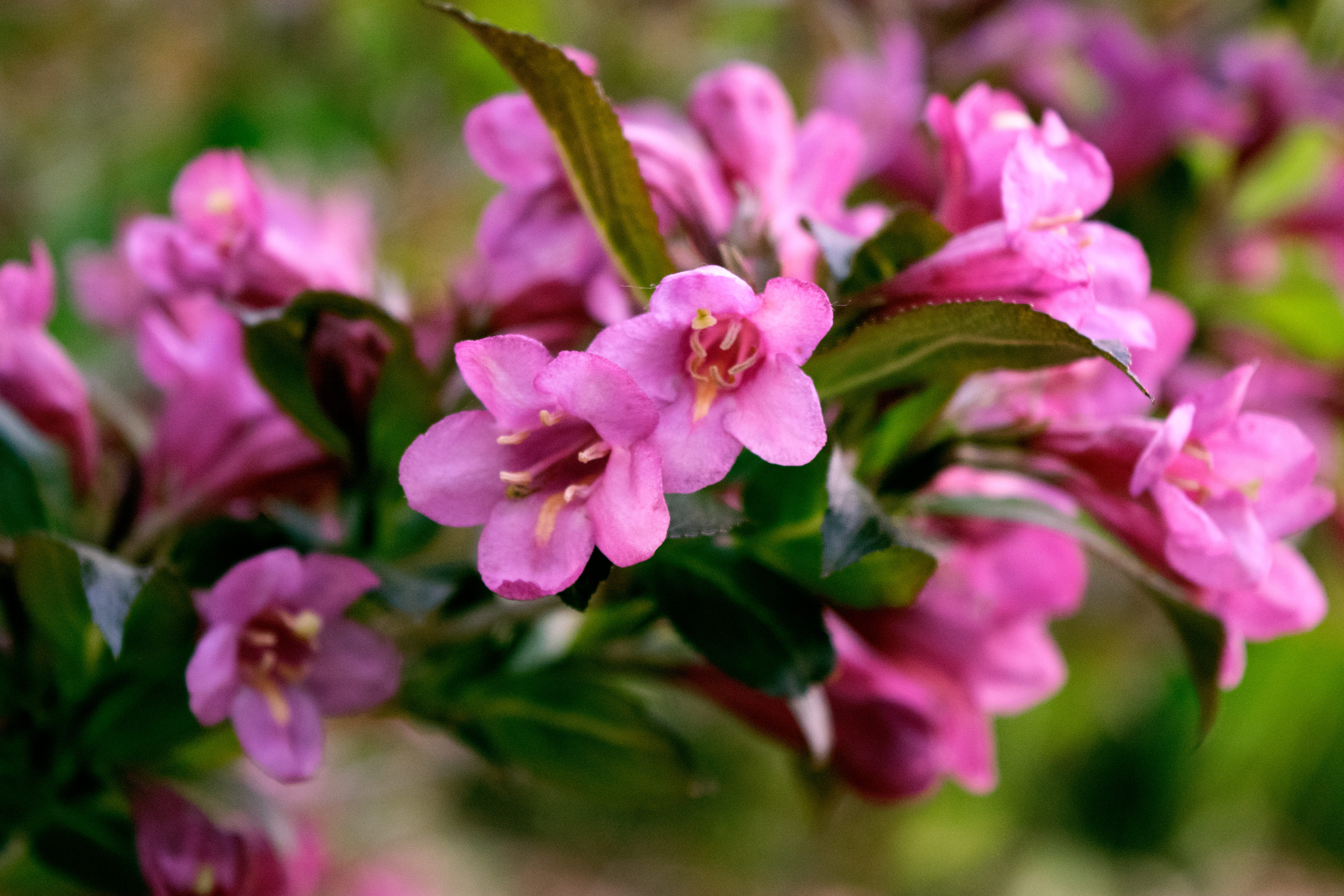 Photo Time: Weigela