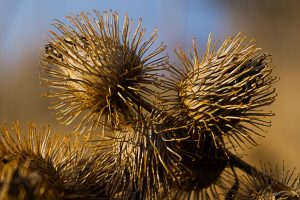 Burrs in the early spring landscape